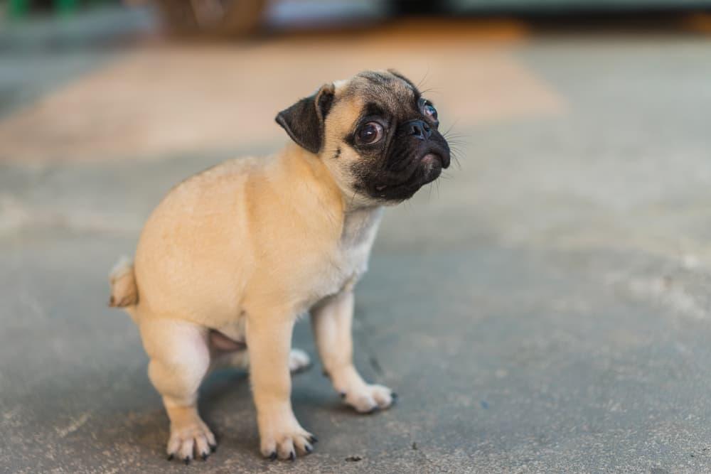 Pug taking a poop outside