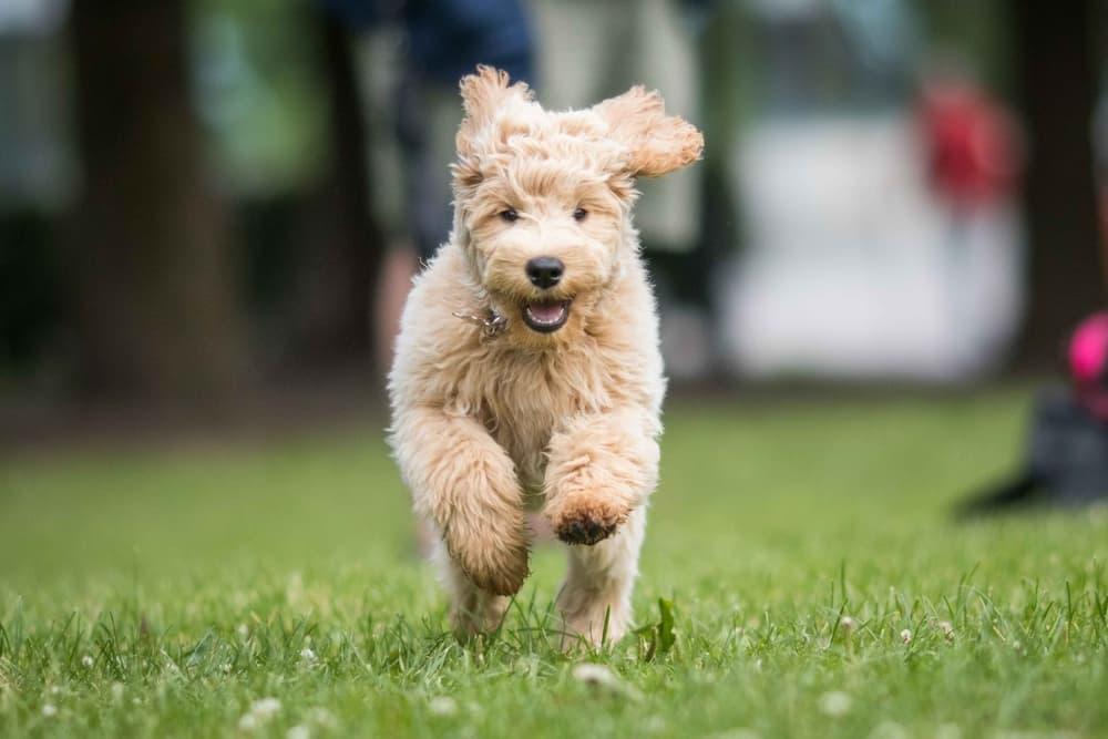 Dog running towards owner