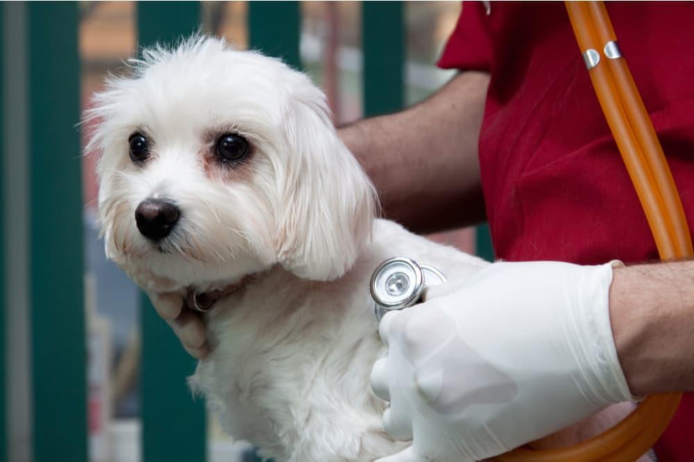 Bichon at the vet having a physical exam