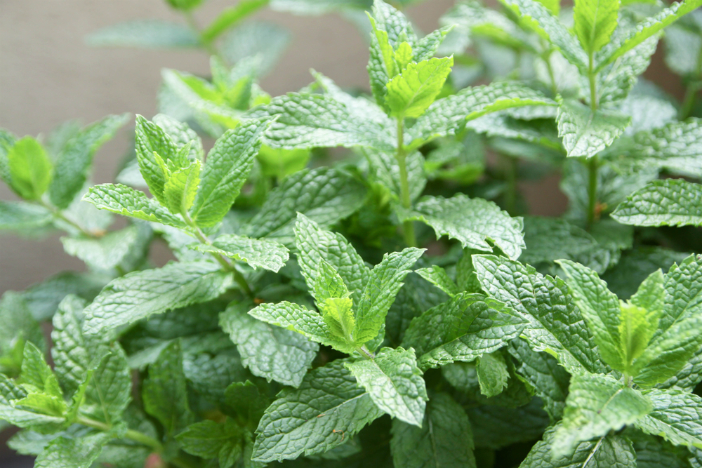 spearmint in the garden