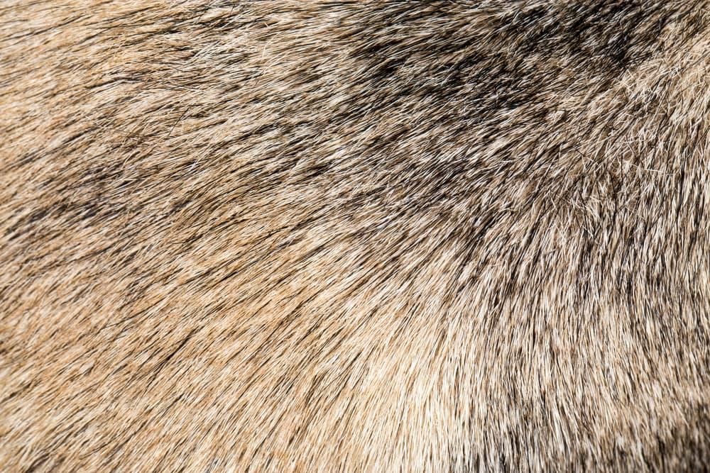 closeup of dog's coat