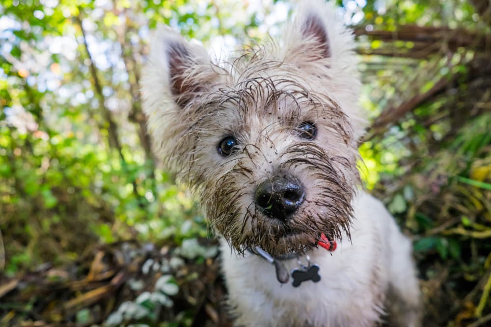 dog with muddy face
