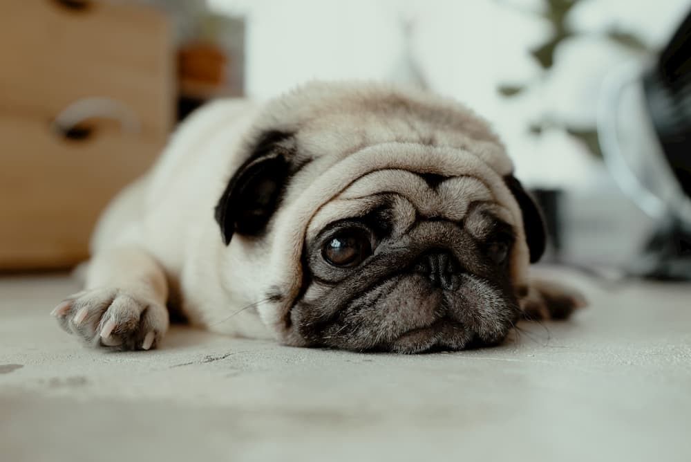 sad pug lying on floor