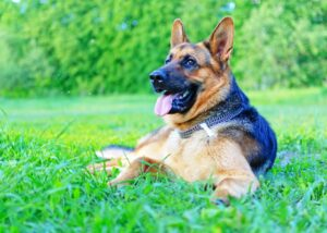 German Shepherd rests in field