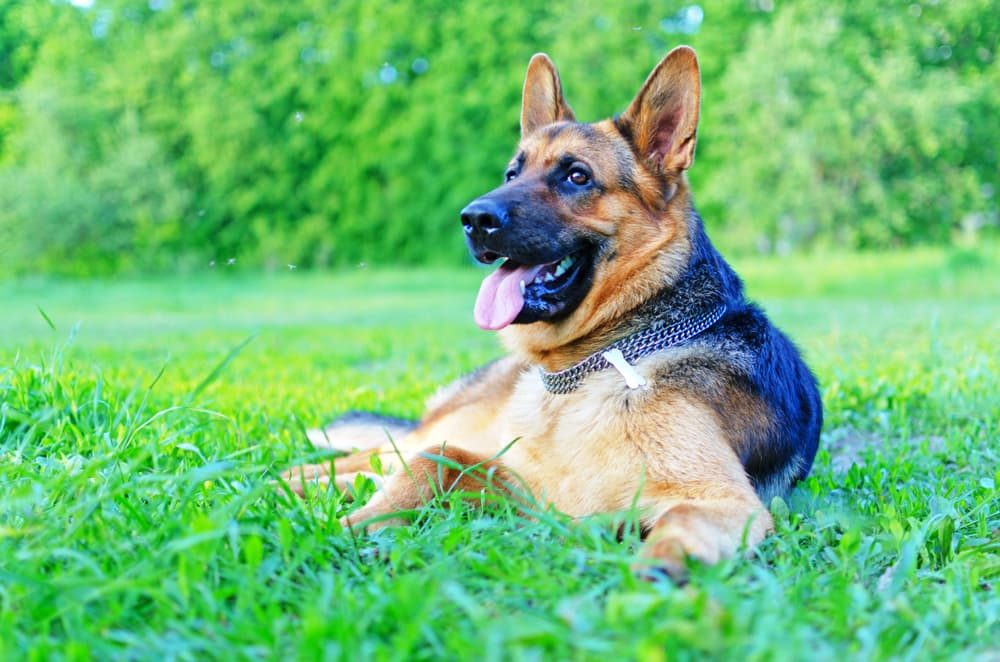 German Shepherd rests in field
