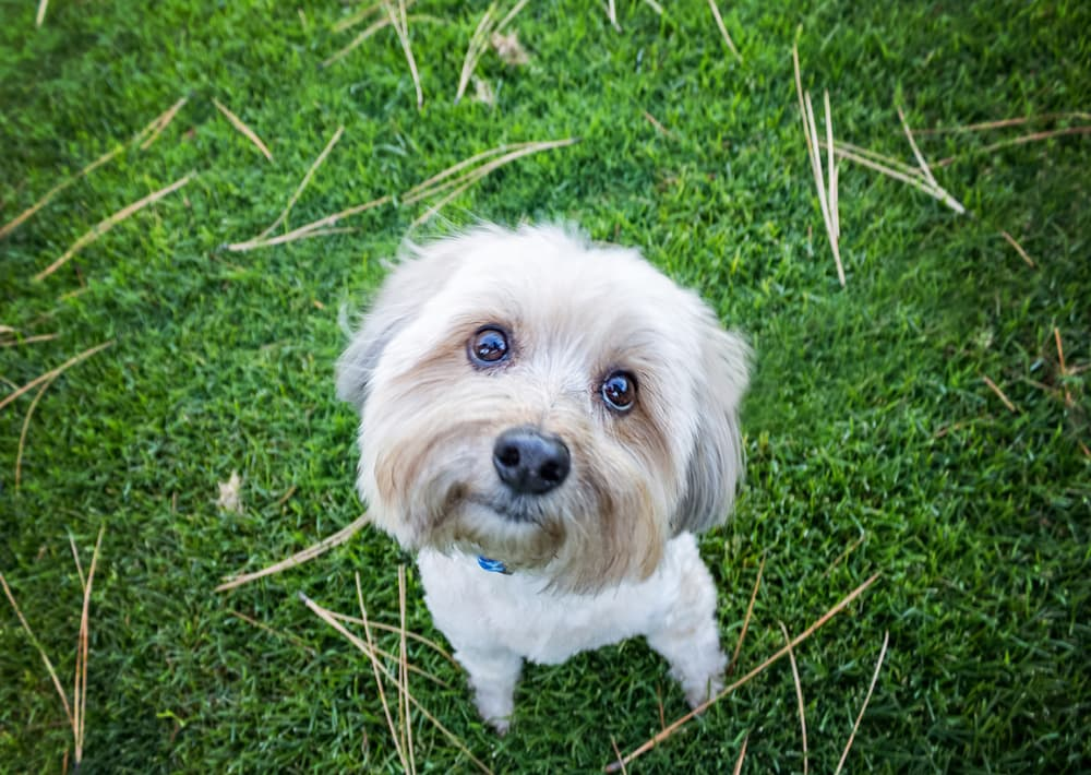 Yorkie Poo looks up from ground