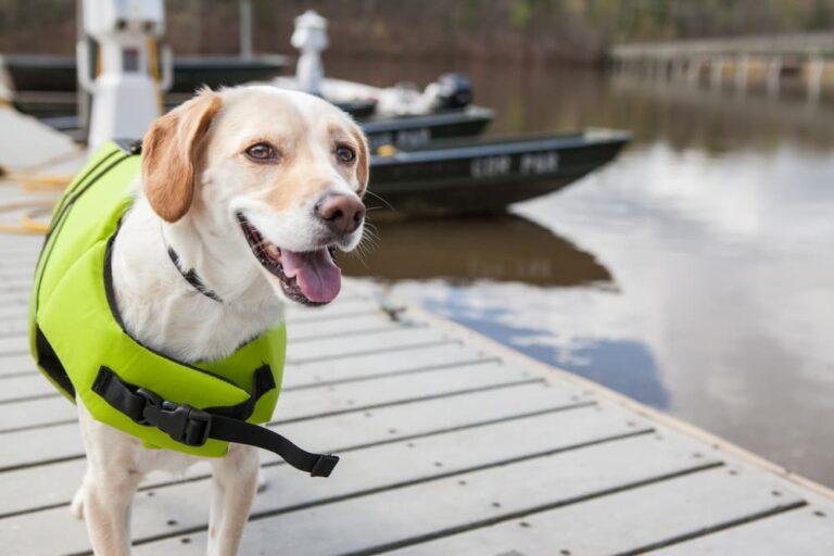 dog wears life jacket