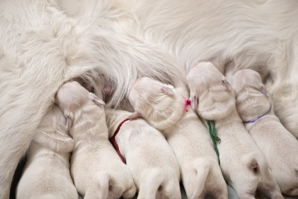 puppies drink milk from mother