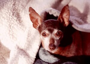 senior chihuahua on bed