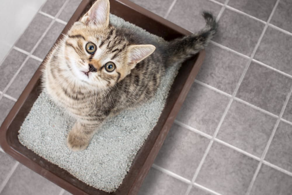 Cat looking up from a litter box