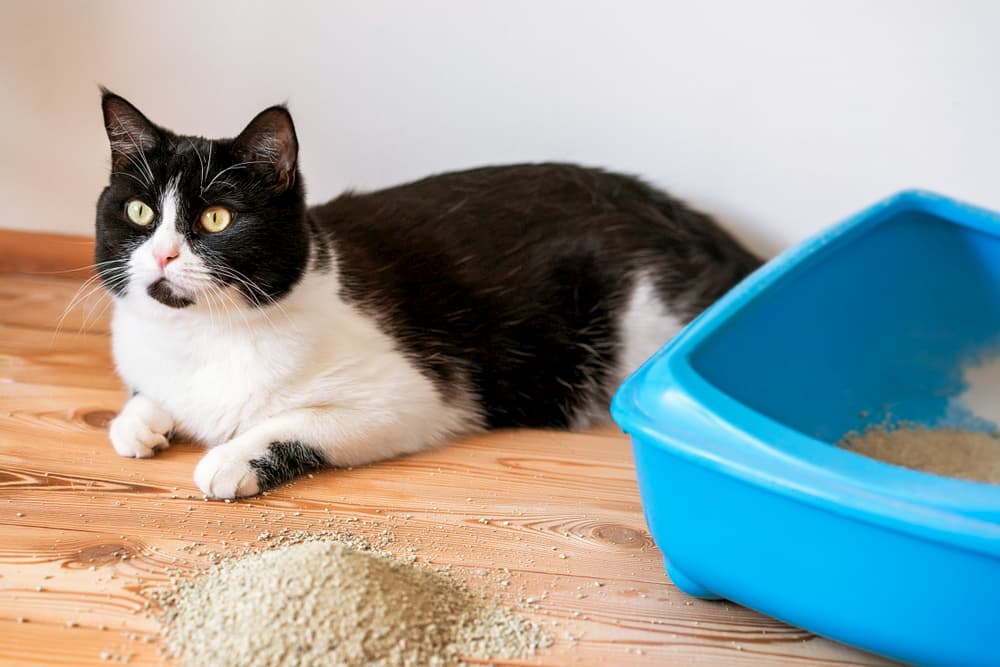 Cat sitting next to cat litter