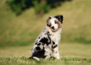Miniature American Shepherd puppy