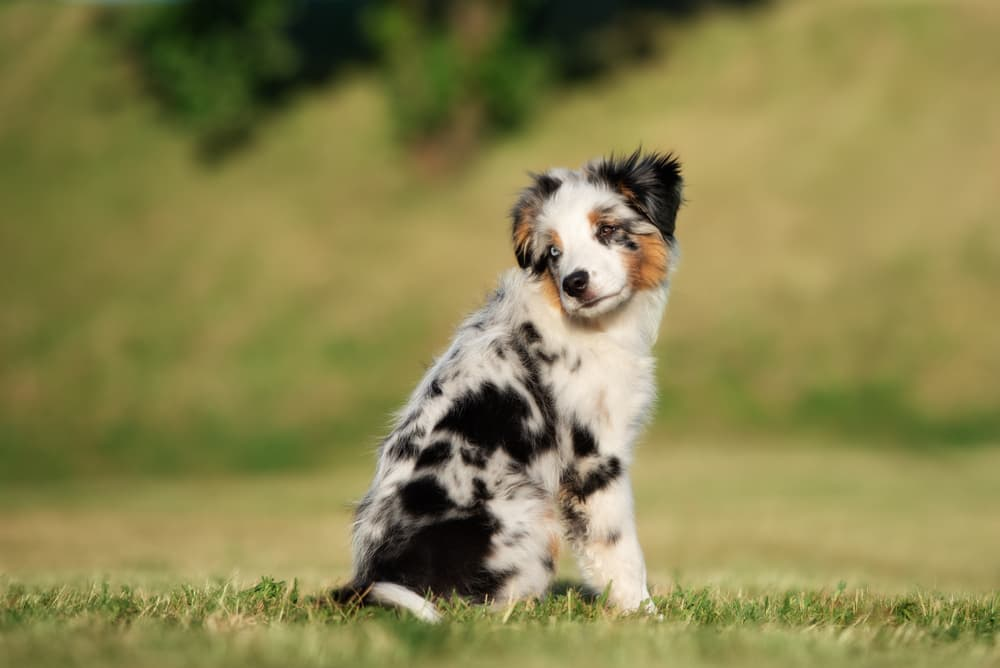 Miniature American Shepherd puppy