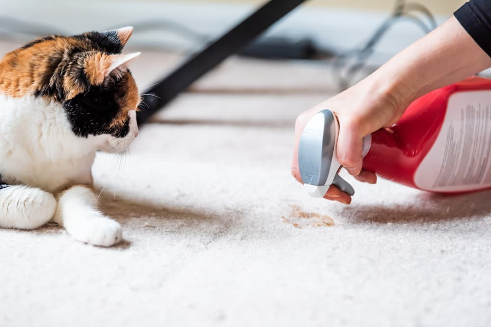 Cat next to woman cleaning cat pee on carpet