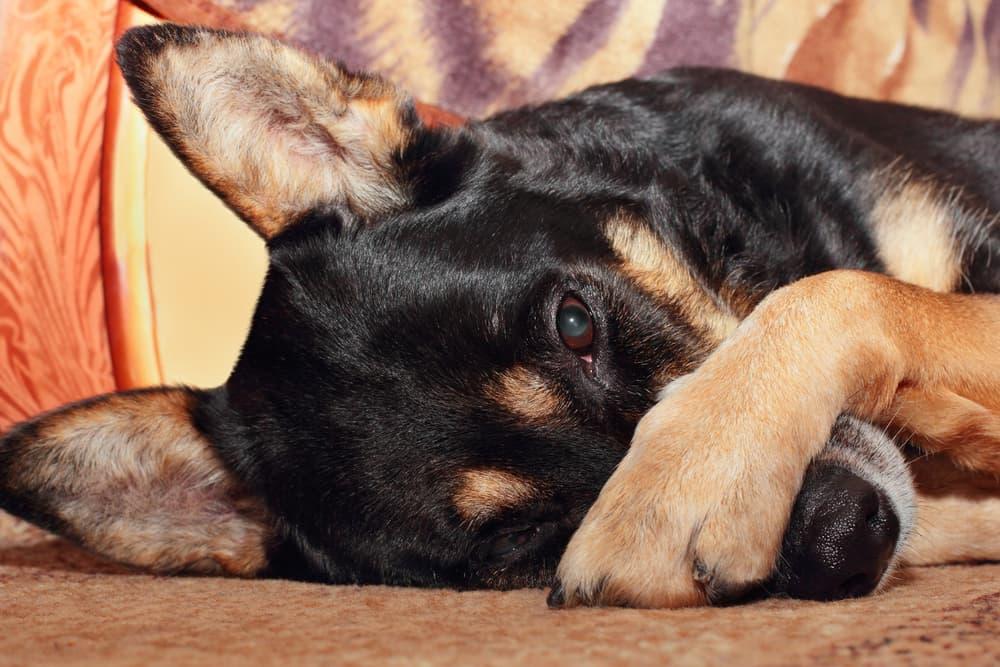 dog pawing at nose