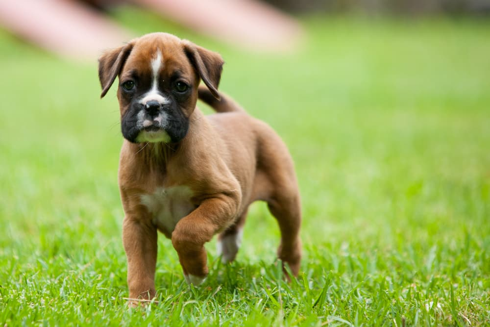 Boxer puppy looking at their owner