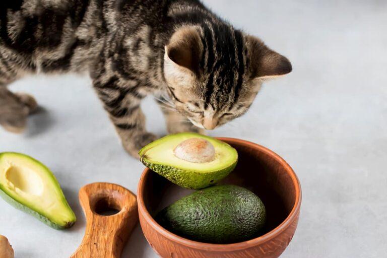 Kitten sniffing half an avocado