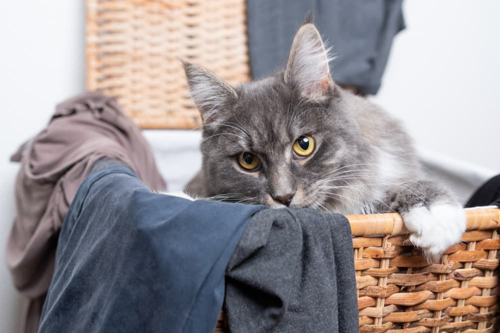 Cat lying in a laundry basket