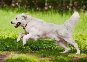 Golden Retriever running outdoors