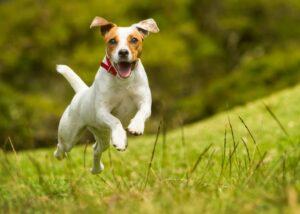 Russell Terrier running outdoors