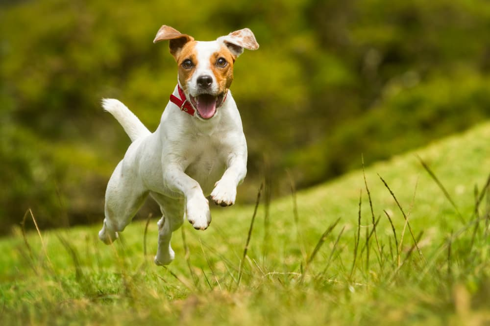 Russell Terrier running outdoors