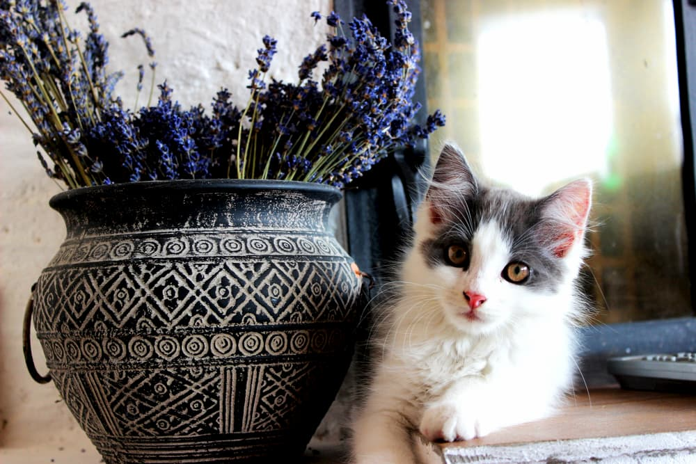 Cat laying next to a pot of dried lavender