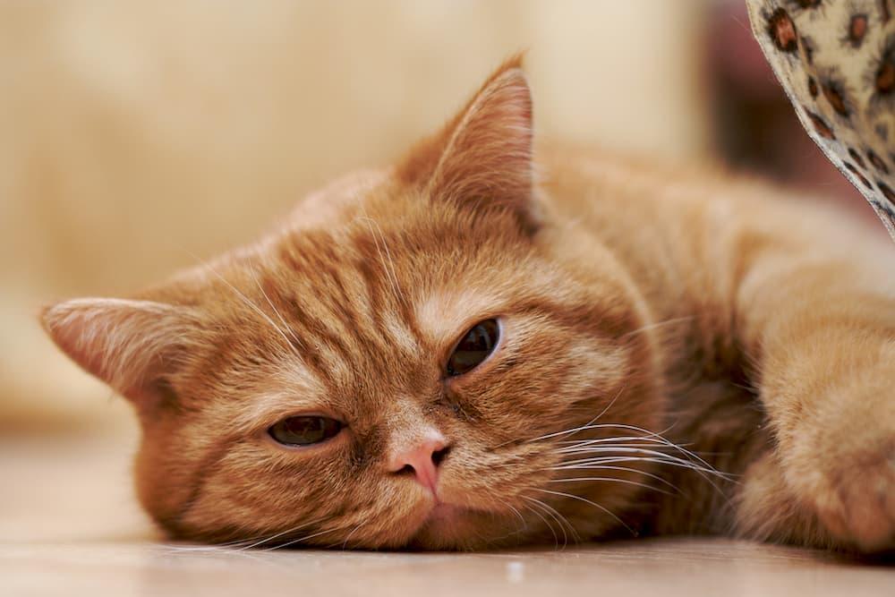 Lethargic cat laying on ground
