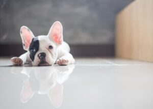 French bulldog laying on ground at home bored