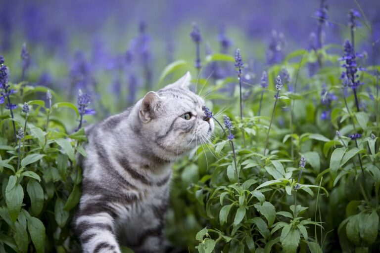 Cat sniffing lavender flowers