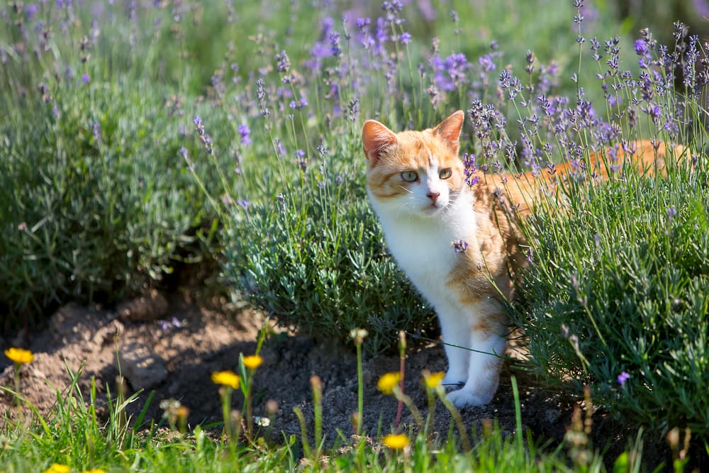 Cat around lavender plants