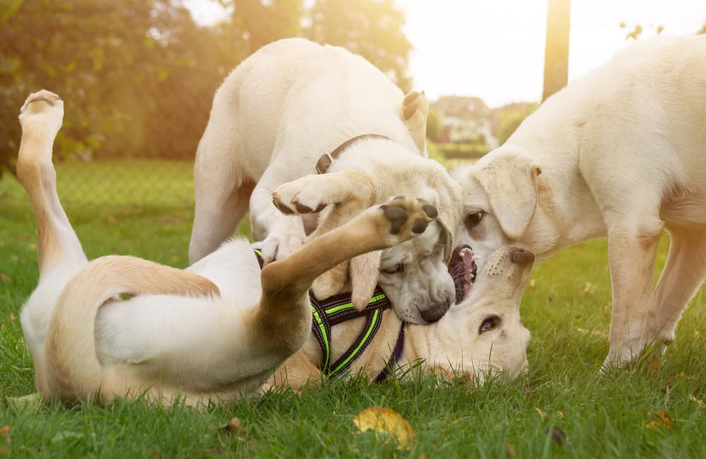dogs playing together at park