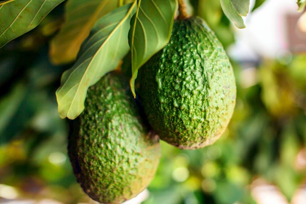 Avocado tree ripe with fruits
