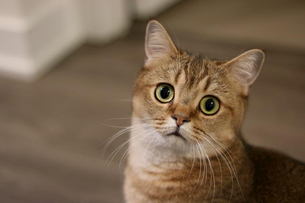 Cat looking up to camera sad