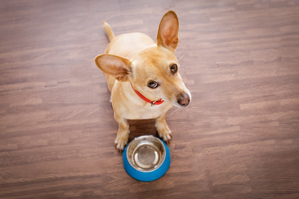 Dog at an empty food bowl looking confused