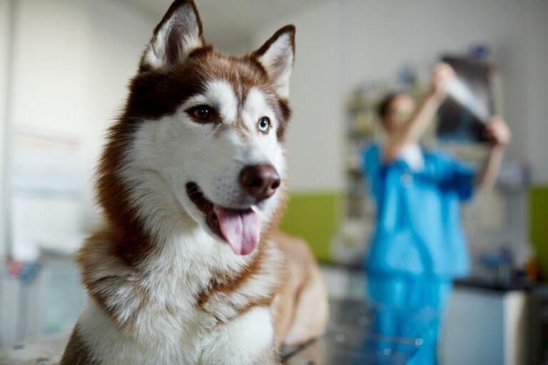 Husky at the veterinarian