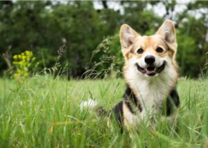 Welsh Corgi sitting smiling in the grass
