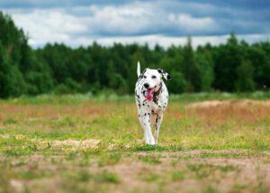 Dalmatian running in the park
