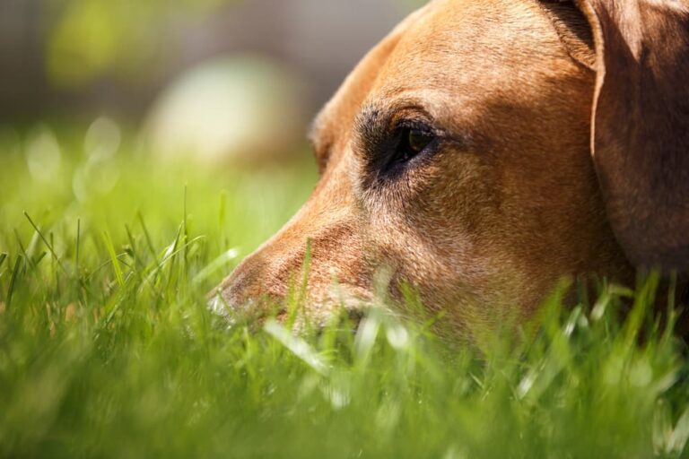 dog rests in grass