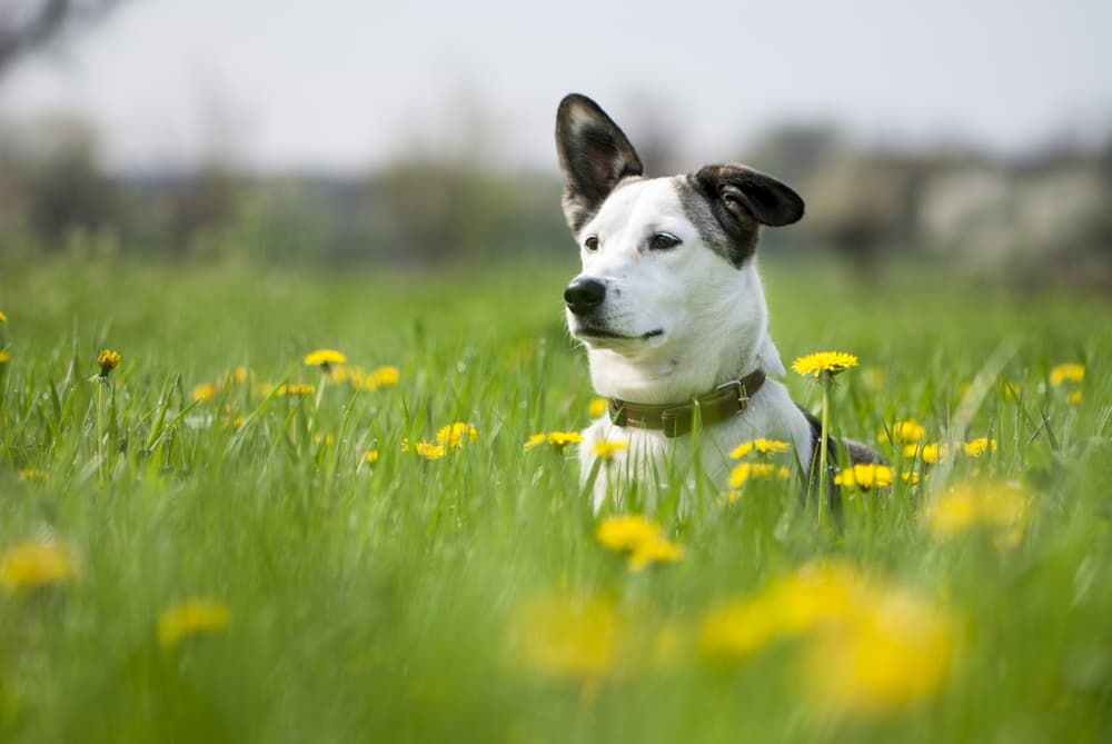 7 Springtime Dangers for Dogs