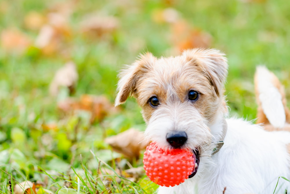 dog with ball in mouth outside