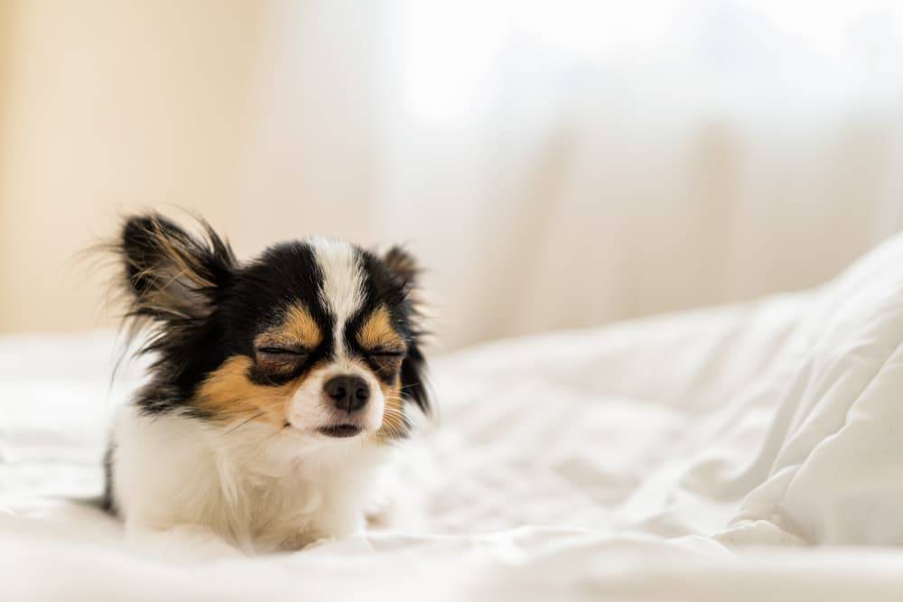 Chihuahua falling sleep on bed