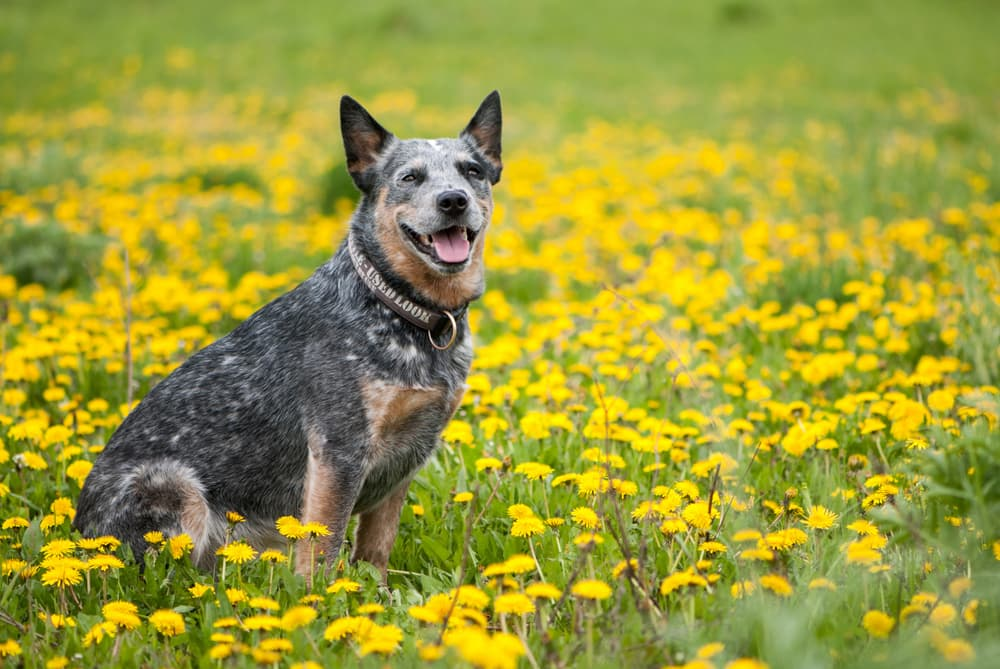 Australian Cattle Dog outside