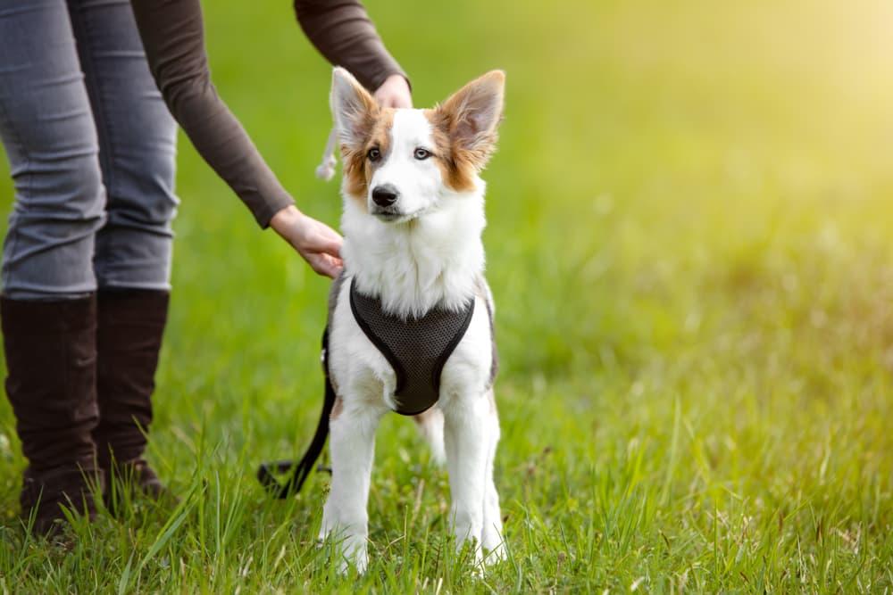 Woman putting harness on dog
