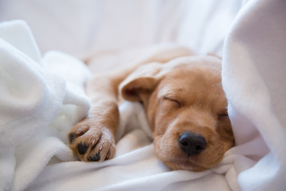 Cute puppy sleeping in sheets