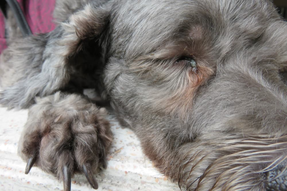 Close up of dog's eye with white mucus