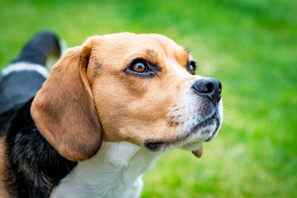Beagle ourdoors looking confused