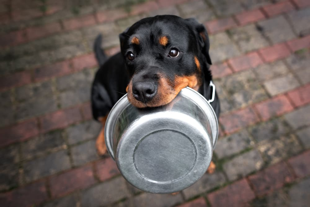 Dog looking up holding empty bowl in his mouth