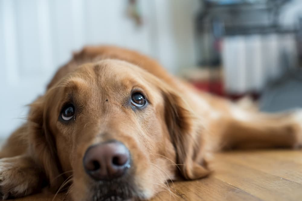 Dog laying on floor looking up and worried
