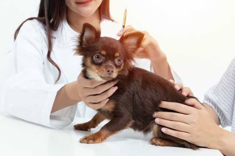 Chihuahua getting a vaccine