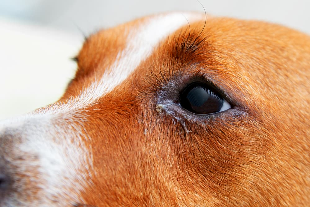 Close up of a dogs eye with red and bumps